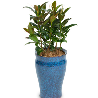 고무나무(멜라니) D24