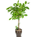 뱅갈고무나무 D83