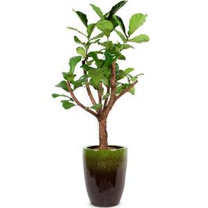 떡갈나무 D95