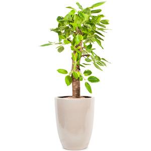 뱅갈고무나무 D103