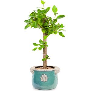 뱅갈고무나무 D104
