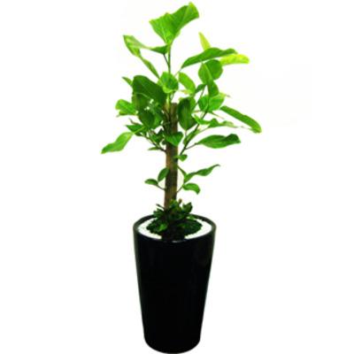 뱅갈고무나무 D67